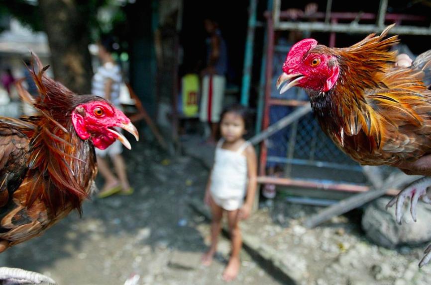 Hahnenkämpfe sind auf den Philippinen äusserst populär. Sie finden sowohl auf den Strassen wie auch in Stadien statt.