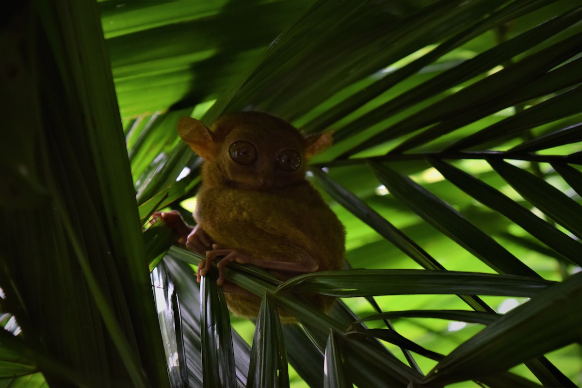 Experience the Philippines Tour with the Tarsier on Bohol