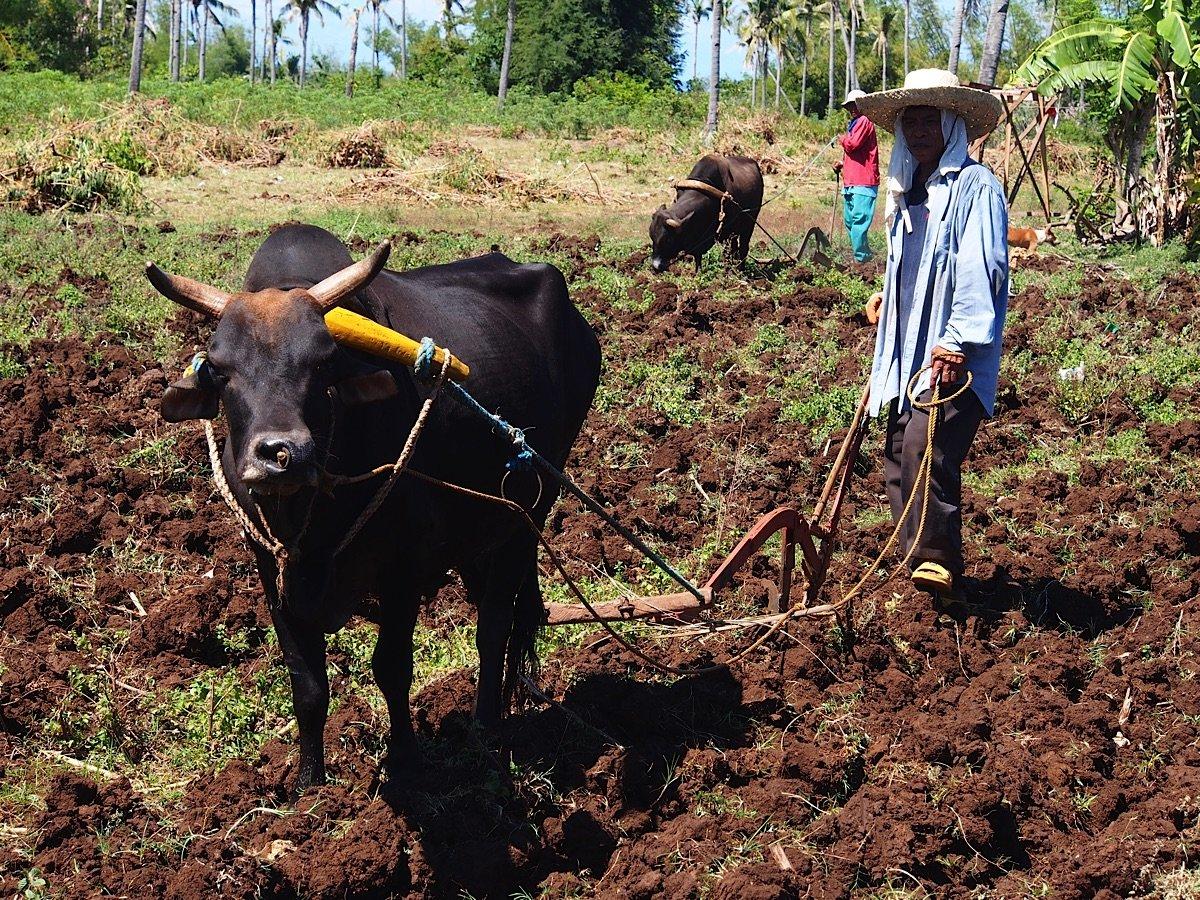 Man ploughing with oxen Bantayan